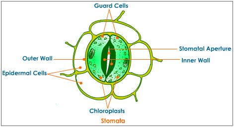 Transpiration and Stomata - AP Bio Plants Review